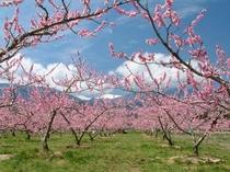 南アルプス市の桃畑
