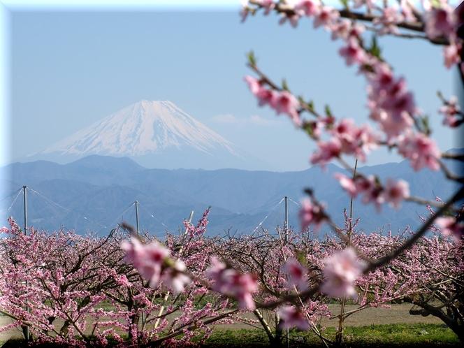 富士山と桃畑