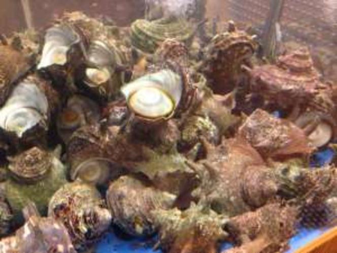 立派なサザエが毎日いっぱい!水槽からサザエ、ハマグリ、ホンビノス貝をとって焼いてね