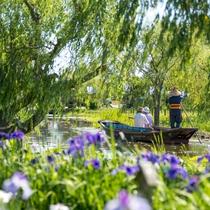 『あやめ祭り』では嫁入り舟や佐原囃子の下座舟など、様々なイベントが行われます
