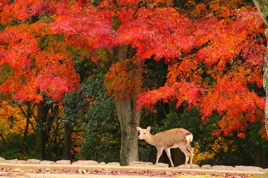 奈良-紅葉