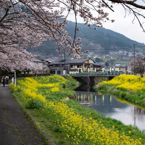 大分川 桜