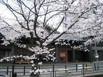 和の風情にみちた老舗旅館に寄り添うように桜が咲き競う