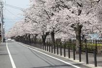 さくら温泉通り(石和温泉)3月下旬-4月上旬