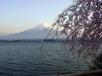 富士山と桜・・