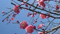 *熱海梅園の梅は日本一の早咲き!11月下旬には開花します、凄いですよね。