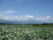 嬬恋 キャベツ畑