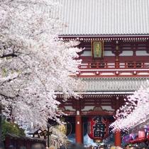 【浅草寺の桜】