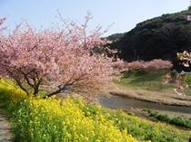 菜の花と河津桜のコラボレーション