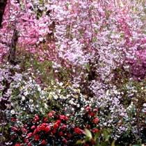 訪春園 では4月末頃まで雪椿と桜の共演がお楽しみいただけます。