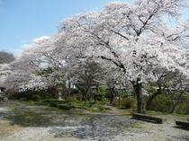フィッシングセンター奥の桜並木