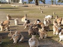 大久野島(ウサギの島)のウサギ