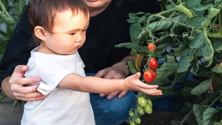 ミニトマトの収穫体験