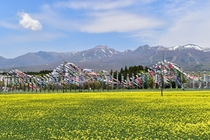 「那須ハートフルファーム」の一面に広がる菜の花畑は圧巻(車で約10分。例年4月下旬~5月下旬頃まで)