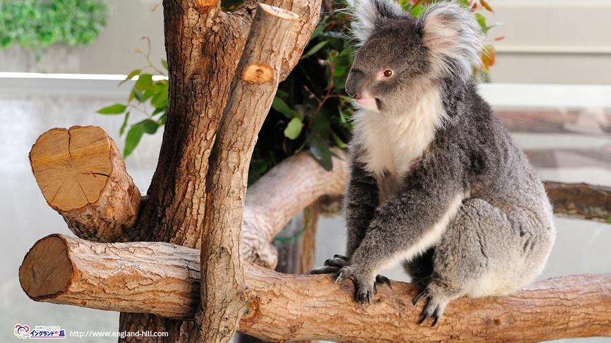 【淡路ファームパーク・イングランドの丘】 特にコアラが大人気。動物とのふれあいも楽しめる(車25分)