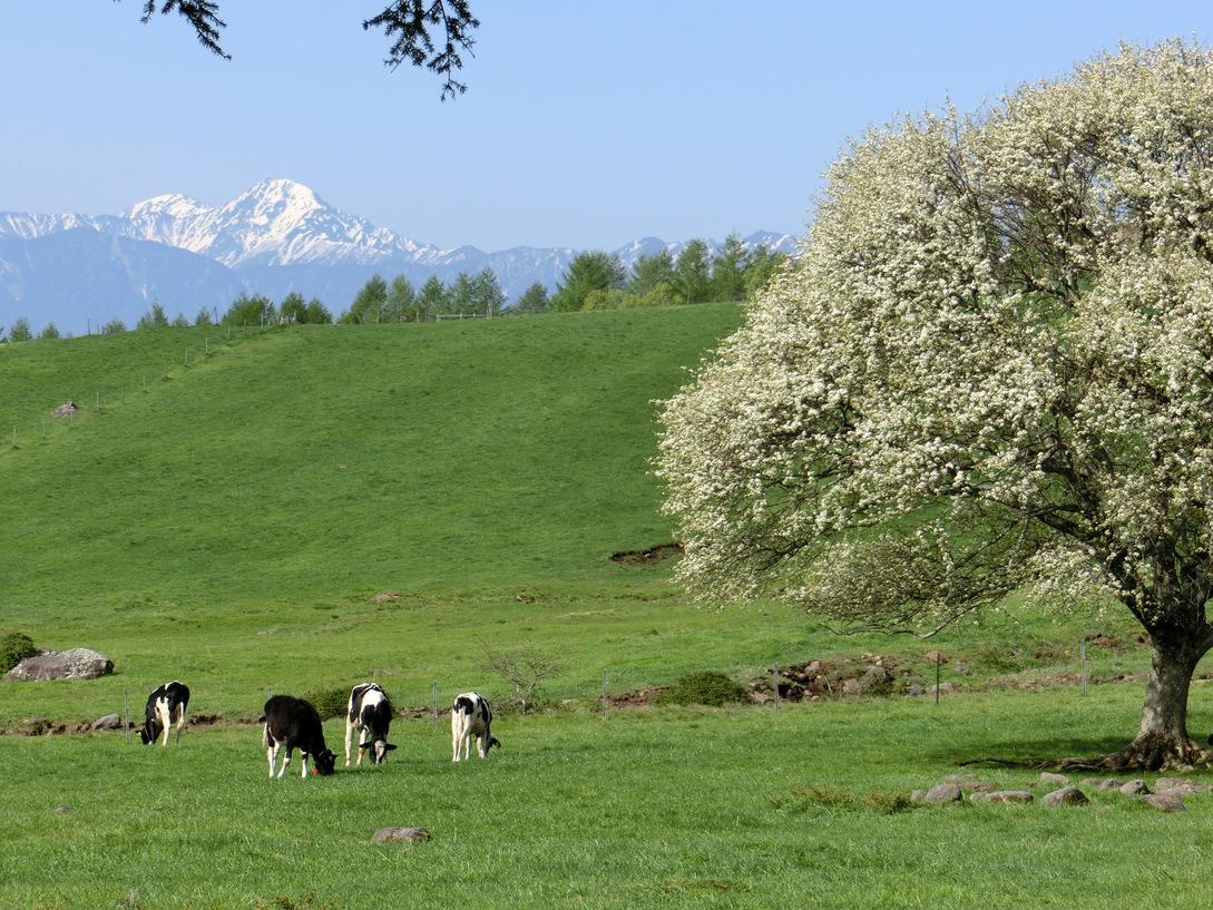山梨県立まきば公園。清里のシンボルツリー、ヤマナシの木は、例年5月下旬が見頃です。