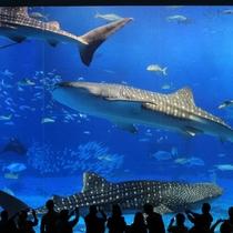 美ら海水族館【車で約45分】ジンベイザメやさまざまな魚たちが待ってます