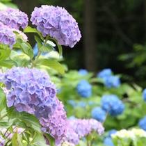 下田公園あじさい祭りは毎年6月開催