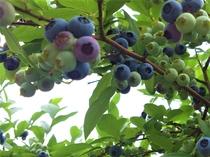 夏の収穫体験 ブルーベリー狩り