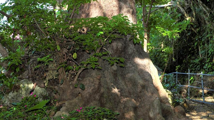 【首里金城の大アカギ】かつては琉球王府の信仰対象でした。大きなアカギの木が生えたパワースポットです。
