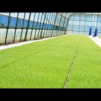 自家栽培のお米は「ひとめぼれ」