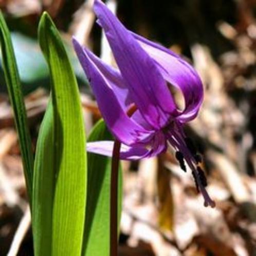 見頃を迎えたカタクリの花