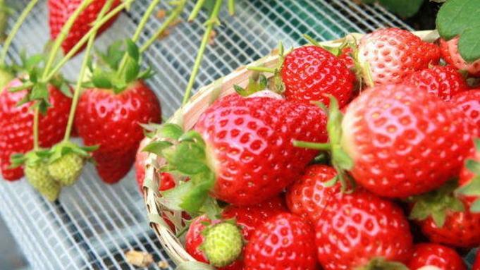 【夏イチゴ収穫体験&デザート付き♪】フルーツパーク森の風で収穫体験!ご夕食はフレンチのフルコース