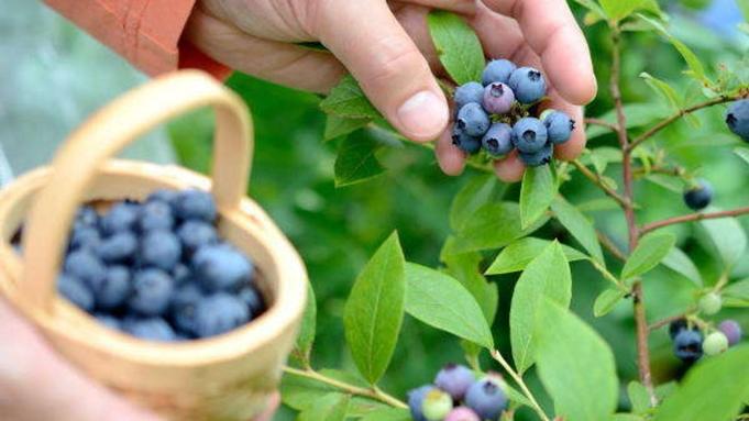 【ブルーベリー収穫体験♪】フルーツパーク森の風で収穫体験!ご夕食は「季節の創作和食」