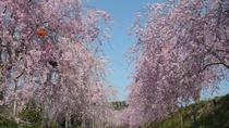 枝垂れ桜のトンネル