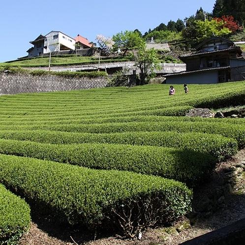 【周辺観光】穴吹町の茶畑