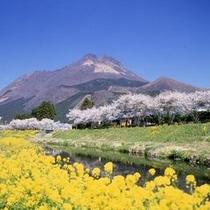 *春の由布岳(菜の花・桜)