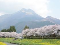 大分川、桜、由布岳01