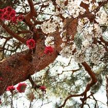桜と桃(正)