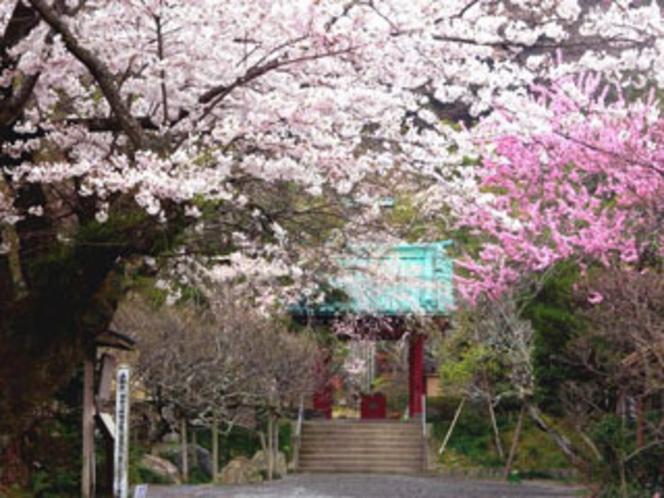 ■春 光則寺のさくら