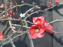 ■冬 早春の梅