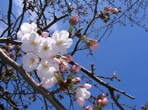 ■春 鎌倉のさくら