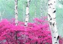 早春の白樺林