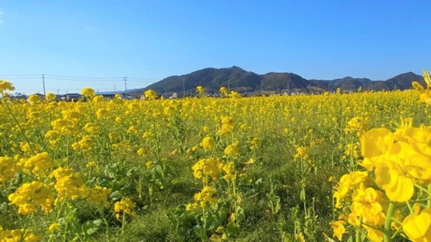 【菜な畑ロード】1月~3月上旬まで菜の花が楽しめる。10,000坪の花畑で菜の花詰み体験が可能。