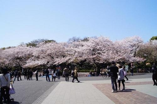 上野公園 - SAKURA cherry blossom