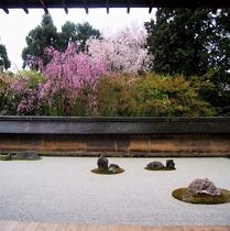 【龍安寺】桜