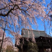 【天龍寺】桜2