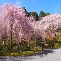 【天龍寺】桜