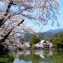 【大覚寺】桜