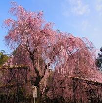 【上賀茂神社】桜