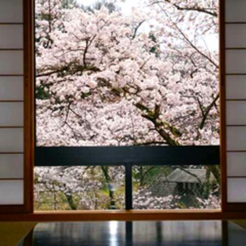 お部屋から満開の櫻