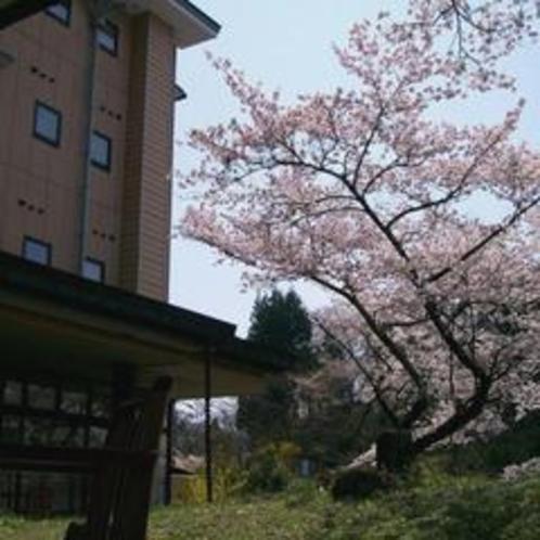 ○別館ロビーのテラスと桜