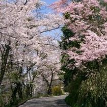 ○北山の道…桜道