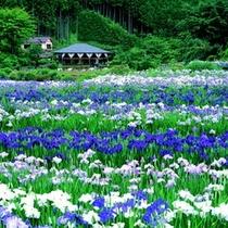 【滝谷しょうぶ園】10000坪の園内が華やかな色で包まれています(車で約50分)