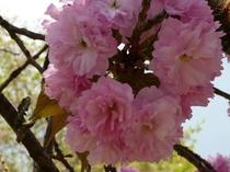 【満開の八重桜】2011年4月25日撮影