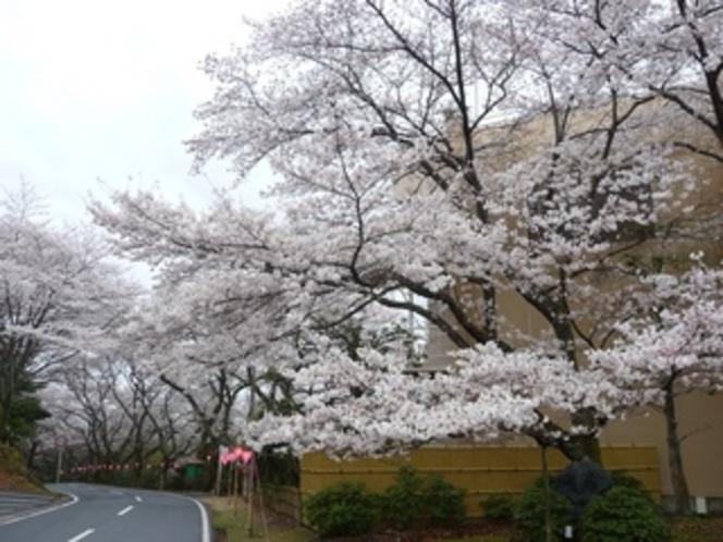 TOP【玄関前の桜】2010年4月1日撮影
